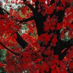 Dr. Roberta Bondar, Red Maple Leaves, 2017, digital chromogenic print on aluminum